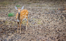 Cervus nippon. Sika deer, Cervus nippon, also known as spotted deer or Japanese deer, is species of deer native to much of East Asia, and introduced to various Stock Image