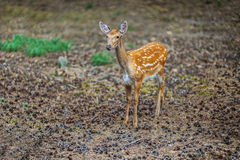 Cervus nippon. Sika deer, Cervus nippon, also known as spotted deer or Japanese deer, is species of deer native to much of East Asia, and introduced to various Stock Images