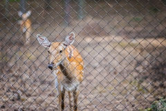 Cervus nippon. Sika deer, Cervus nippon, also known as spotted deer or Japanese deer, is species of deer native to much of East Asia, and introduced to various Stock Photo