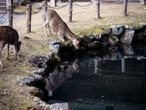 Sika deer at Nara Park stock photos