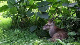 A Cervus nippon, Sika Deer, resting lying among the trees and forest plants. An adult Male Cervus Nippon resting lying among the trees and forest plants at a day stock footage