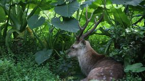 A Cervus nippon, Sika Deer, resting lying among the trees and forest plants. An adult Male Cervus Nippon resting lying among the trees and forest plants at a day stock video footage