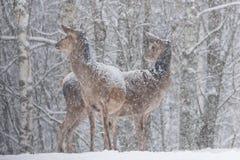 CervusElaphus för två Snö-täckt röda hjortar ställning i envänd på utkanten av den A Snö-täckte adelsmannen för björkForestTwo kv Royaltyfria Foton