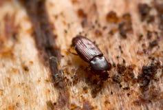 Cerylon impressum on pine wood Stock Photos