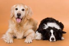 Cães Imagem de Stock Royalty Free