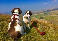 Cães ativos saudáveis Fotos de Stock Royalty Free