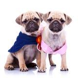 Cães de filhote de cachorro do pug da princesa e do campeão Foto de Stock Royalty Free