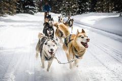 Cães de trenó Imagem de Stock