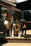 Cães do pugilista que olham para baixo Fotos de Stock Royalty Free