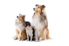 Cães escoceses do collie Foto de Stock Royalty Free