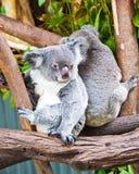 Deux ours de koala, Australie Photos stock