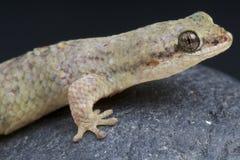 Gecko/petiti de Geckolepis Poisson-mesurés par nain photographie stock