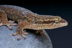 gecko/maculata Poisson-mesurés de Geckolepis images libres de droits