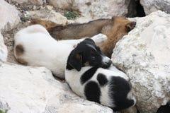 Cães pequenos Imagem de Stock Royalty Free