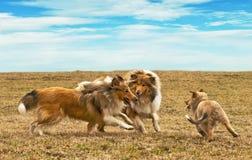 Cães Running do collie Imagens de Stock