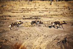 Cães selvagens africanos do pictus de Lycaon Fotos de Stock Royalty Free