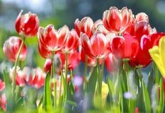 Ces tulipes sont étirées pour faire bon accueil au soleil de ressort Images stock
