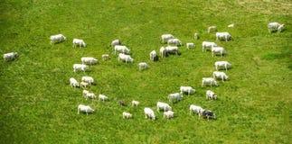 Ces vaches sont dans l'amour Image stock