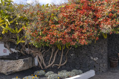Cesar Marique Foundation, Lanzarote. Flowers on the wall  in Cesar Marique Foundation in Tahiche, Lanzarote, Canary Islands. Spain Stock Image