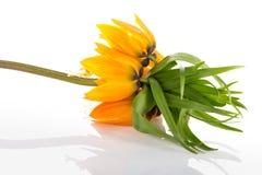 Cesarska korona odizolowywająca na białym tle (Fritillaria Imperialis) Zdjęcia Royalty Free