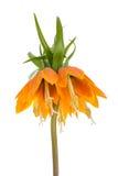 Cesarska korona odizolowywająca na białym tle (Fritillaria Imperialis) Fotografia Royalty Free