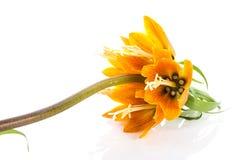 Cesarska korona odizolowywająca na białym tle (Fritillaria Imperialis) Fotografia Stock