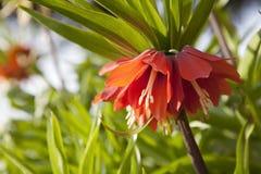 Cesarska korona w pełnym kwiacie Zdjęcie Royalty Free
