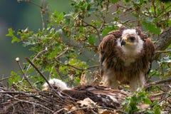 Cesarski Eagle gniazdeczka lasu tło Aquila heliaca fotografia stock