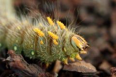 Cesarski ćma Caterpillar Zdjęcia Royalty Free
