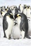 cesarzów pingwiny Zdjęcia Royalty Free