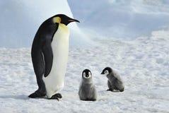 Cesarzów pingwiny z kurczątkami Fotografia Stock