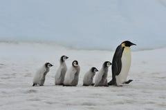 Cesarzów pingwiny z kurczątkami Zdjęcie Royalty Free