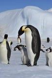 Cesarzów pingwiny z kurczątkami Zdjęcia Royalty Free