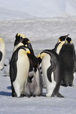 Cesarzów pingwiny z kurczątkami Obraz Royalty Free