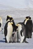 Cesarzów pingwiny z kurczątkami Fotografia Royalty Free