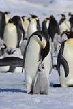 Cesarzów pingwiny z kurczątkami Zdjęcie Stock