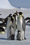 Cesarzów pingwiny z kurczątkami Zdjęcia Stock