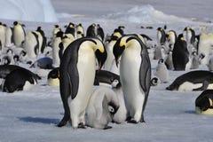 Cesarzów pingwiny z kurczątkami Obrazy Royalty Free