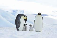 Cesarzów pingwiny z kurczątkiem Zdjęcia Stock