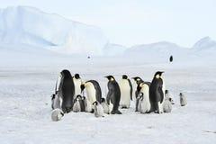 Cesarzów pingwiny z kurczątkiem Fotografia Royalty Free