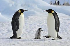 Cesarzów pingwiny z kurczątkiem Zdjęcie Royalty Free