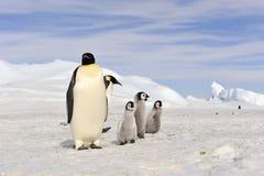 Cesarzów pingwiny z kurczątkiem Obrazy Royalty Free