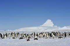 Cesarzów pingwiny z kurczątkiem Fotografia Stock