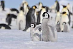 Cesarzów pingwiny z kurczątkiem Obraz Stock