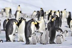 Cesarzów pingwiny z kurczątkiem Zdjęcia Royalty Free
