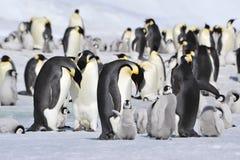 Cesarzów pingwiny z kurczątkiem Obraz Royalty Free