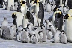 Cesarzów pingwiny z kurczątkiem Obrazy Stock