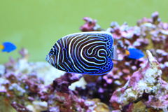 cesarz angelfish Fotografia Royalty Free
