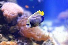 cesarz angelfish Fotografia Royalty Free