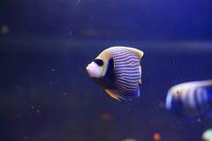 cesarz angelfish Obraz Royalty Free